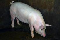 健美的大肥猪