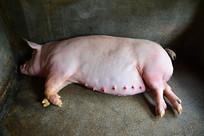 睡觉的大肥猪