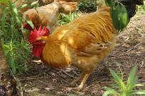 草丛大公鸡