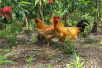 桃园公鸡母鸡