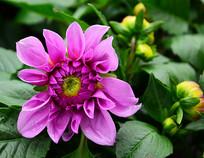 盛开的大丽菊