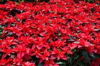 十二月一品红叶子