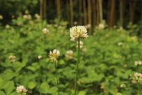 白花三叶草