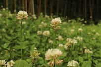 白花三叶草花瓣