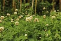 满地白花三叶草