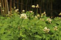 盛开的白花三叶草