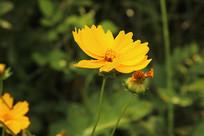 盛开的狭叶金鸡菊