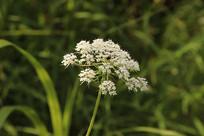 一朵白色花团