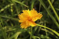一朵剑叶金鸡菊