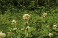 一颗颗白花三叶草