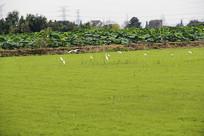 绿草地白鹭飞