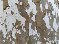 刷白老树纹