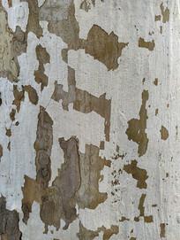 刷白树皮纹理