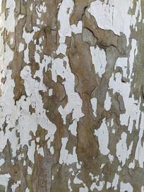 刷白涂白树皮粗糙纹理