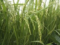 雨天拍摄稻穗