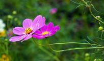 两朵紫色波斯菊