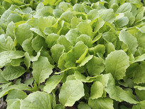 绿叶自家菜园青菜
