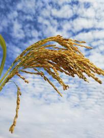天空沉甸甸稻谷