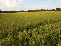 田园稻米景色
