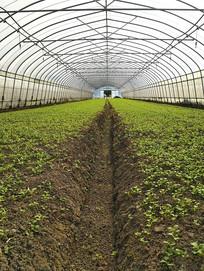 大棚绿叶苗