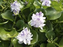 河道水葫芦花