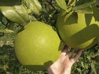 两个大青柚子