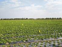 生菜种植基地