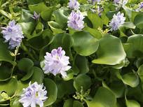水葫芦开花