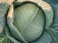 新鲜圆白菜