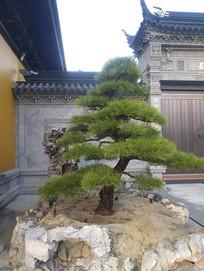 寺院罗汉松