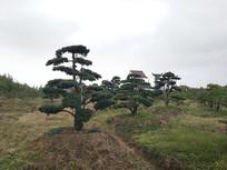 罗汉松种植园