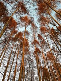 冬日水杉林拍摄