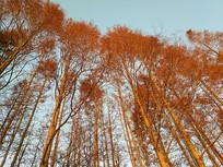 红火冬日水杉林