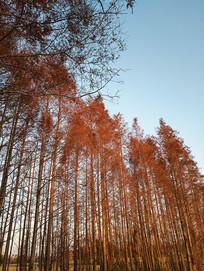 火红水杉林
