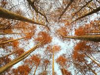 暖阳冬日水杉林