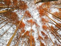清晨金色水杉林