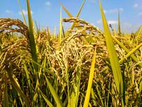 特写成熟稻谷