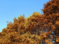 秋天茂盛水杉