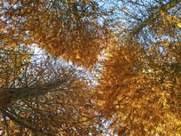 高大茂盛水杉