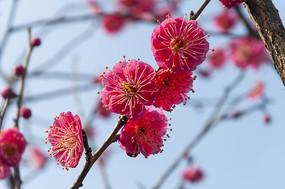 春天梅花开