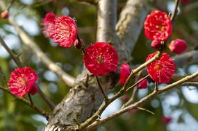 红梅花儿朵朵开