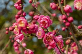 盛开的梅花