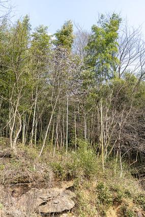 農村山頭的樹林杏花