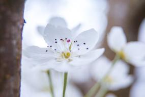 梨花花朵攝影