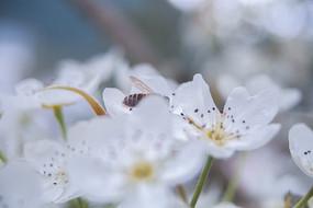 梨花蜜蜂攝影抓拍