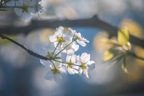 梨花逆光攝影