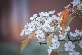 白色梨花攝影