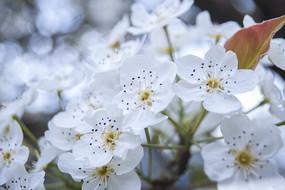 雪白的梨花攝影