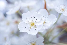 一朵梨花攝影