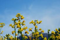 油菜花朵朵